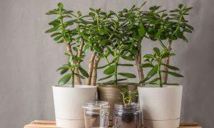 Copaci de apartament